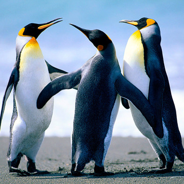 Thumb_penguins